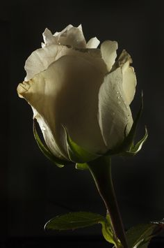 βℓαᏣƙ Ɓαcкgяσυη∂ (White rose by Cristobal Garciaferro Rubio) Flowers Nature, Exotic Flowers, Amazing Flowers, Beautiful Roses, Beautiful Flowers, Rose Flowers, Flowers Black Background, Background Pictures, Roses Only
