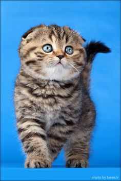 "Scottish Fold Kitten ✮✮""Feel free to share on Pinterest"" ♥ღ  #goodlife   www.organicgardenandhomes.com"