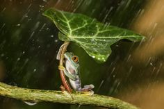 Natural Umbrella - I was cleaning out their tank one evening and I watched as they climbed up a plant. When it started to rain I looked to bring the frogs back in and I caught them in these very human poses, holding onto the leaf. I just couldn't resist getting my camera and taking a few quick snaps of them before I brought them inside. It was really funny to see them acting so human by holding onto the leaf- it looked as if the frogs were using the leaf as an umbrella. 'I thought they…