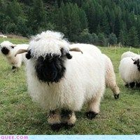 Fuzzy sheep