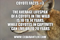 With long life spans in the wild, it is easy to see how just one coyote can make a significant impact on the populations of it's prey. Predator Hunting, Coyote Hunting, Hunting Tips, Deer Hunting, Hunting Stuff, Wilderness Survival, Camping Survival, Survival Knife, Survival Skills