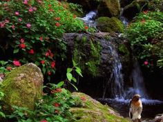 A red shouldered hawk with Seminole waterfall and blooming impatiens in the background. Rainbow Springs, Dunnellon