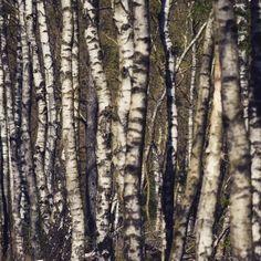 Berken Birch Forest, Mists, Clouds, Gallery, Woodland Forest, Roof Rack, Cloud
