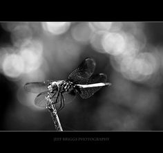 Bokeh Dragonfly by Jeff Briggs Photography