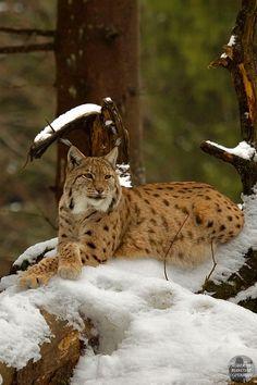 Magnificent lynx. 500px.com