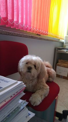 My lhasa Sam work with me in office.