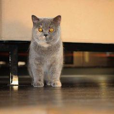 #catofinstagram #british #britishcat #happyday #catofinsta #catofinstagram #kitty #kitten #unionsnobs #britishcat_shorthair_breeder #британец #британскиекотята #котикиправятмиром #британецкот Мам что опять на выставку?! We are again at the cat show ? by @vlenika automatic cat litter box  cat cats kitty cute catlover catsofinstagram catcam instacat catstagram catsagram lovecats cat product reviews