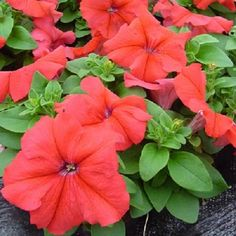 200 Pelleted Petunia Seeds Ultra Red Petunia BULK SEEDS #PetuniaSeeds