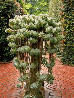 Like to have some raised succulent planter (graptopetalum paraguayense in it? Succulent Gardening, Cacti And Succulents, Planting Succulents, Container Gardening, Planting Flowers, Succulent Planters, Succulent Tree, Dream Garden, Garden Art