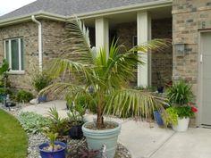 kokospalme zimmerpflanzen grüne zimmerpflanzen pflegeleichte zimmerpflanzen