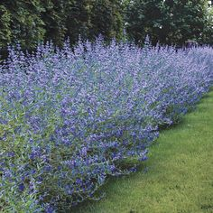 Longwood Blue Blue Mist Shrub