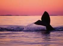 Southern Right Whales hang out off the coast of South Africa between June and November!