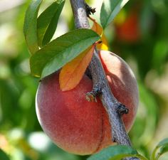 Peach Peregrine Online From Jacksons Nurseries Fruit Plants Trees