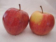 Ripe Cameo Apple Fruit. Cameo, Malus domestica. Arizona Vegetable & Fruit Gardening For The Arizona Desert Environment. Pictures, Photos, Images, Descriptions,  Information, & Reviews.