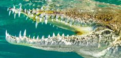 Whither conventional wisdom in photographic composition? #scuba #diving #dive #underwater #photography #BSoUP #crocodile
