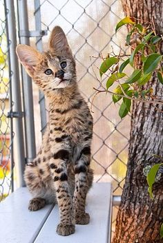 Found a new (WAY in the) future pet:  African Serval Cat