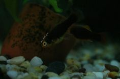 (DO NOT REPIN OTHERWISE I WILL TAKE ACTION) These are my Tuxedo Metallic Platys. They are about 5 months old and one is a boy another a girl. They don't have names yet and I was wondering if you fellow human beings would like to name them. I will choose the best three names out of the lot and have a vote out of them, the one with the most votes will win but first just write two names for these little ones. The male is social and adventures but the female is shy. They are always together