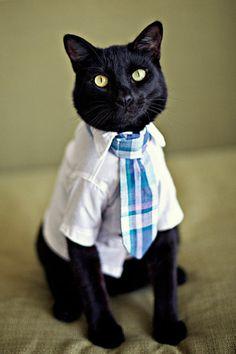 Gato vestindo uma camisa branca e uma gravata de listas azuis.