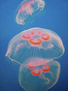 Jellyfish On Blue by Sally Crossthwaite - Jellyfish On Blue Photograph - Jellyfish On Blue Fine Art Prints and Posters for Sale