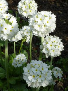 VINTAGEHOME BLOG - wintercherries:Primula dentriculata - white drumstick primula. Flowering May 2013