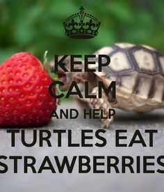 images of a turtle eating a strawberry | KEEP CALM AND HELP TURTLES EAT STRAWBERRIES - KEEP CALM AND CARRY ON ...