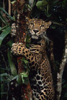 Funny Wildlife, eqiunox: A jaguar named Boo by Steve Winter ...