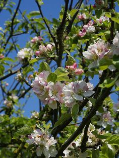 European Crab Apple, (French Crabapple), Malus sylvestris, Tree Seeds (Fast)