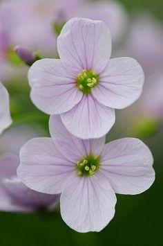 Cardamine pratensis. Cuckoo Flower. | Flickr - Photo Sharing!