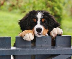 Bernese Mountain dog pupy