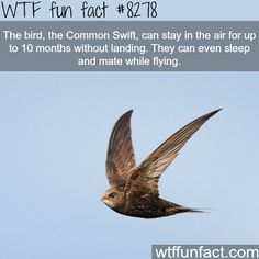 The Common Swift - WTF fun facts