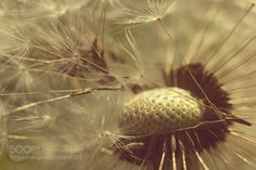 Dandelion by SuntsovR. @go4fotos
