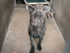 PEPE is EUTH LISTED. He only has thru today to be rescued. See video:   Only a year old, very scared. Please share for rescue, pledges, foster. Orange County Shelter, CA  PEPE A1363011 Sex: M Age: 1 Year Color: BL BRINDLE Breed: PIT BULL Kennel: 216  12/11 OC Animal Care. 561 The City Drive South, Orange, CA. 92868 Telephone: 714.935.6848 https://www.facebook.com/AngelsForAnimals.AFA/photos/a.10153646078105223.1073741938.315830505222/10154951260885223/?type=1