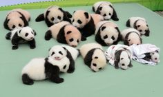 we have 14 baby panda cubs for you. The cubs were introduced to the public by China's Research and Conservation Center for the Giant Panda i...