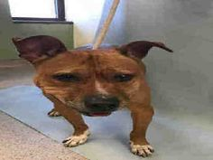 3/4 HELP! 3/3/17 THE FORGOTTEN  ONES!! UPDATE ON COCO PLEASE URGENT?? Manhattan Center COCO aka JESSIE – A1103814  **DOH HOLD – B**  SPAYED FEMALE, BROWN, PIT BULL MIX, 4 yrs STRAY – ONHOLDHERE, HOLD FOR DOH-B Reason BITEANIMAL Intake condition UNSPECIFIE Intake Date 02/15/2017, From NY 10460, DueOut Date 02/25/2017