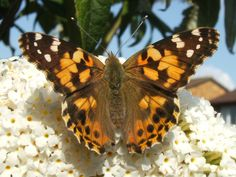 Beautiful butterflies on our Buddleia Tree