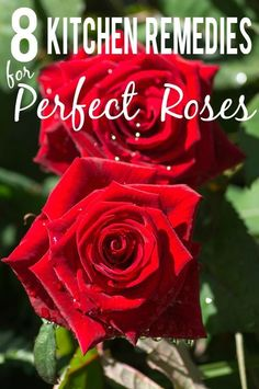 Rose Gardening For Beginners Rose Garden - Get perfect, beautiful rose blooms with simple fixes right in your kitchen with these 8 kitchen remedies for perfect roses. Kitchen Remedies for Perfect Roses Do you want to get your roses looking amazing but Rose Plant Care, Rose Care, Rose Bush Care, Gardening For Dummies, Organic Gardening Tips, Vegetable Gardening, Indoor Gardening, Pallet Gardening, Balcony Gardening