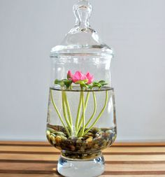 Miniature Lotus Water Lily Terrarium
