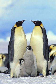 Emperor Penguin (Aptenodytes Forsteri) Parents with Chicks, Antarctica Animals Of The World, Animals And Pets, Cute Animals, Wild Animals, Penguin Costume, Georgia, Feel Good Videos, Cute Penguins, Thing 1
