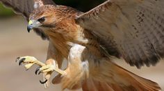Hawk #bird #nature #animal