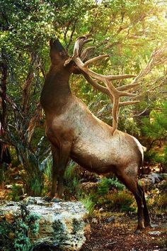 Big bull elk eating some leaves before bedding down for the day. Tick tock - once he beds your day of hunting is virtually over! Forest Animals, Nature Animals, Animals And Pets, Cute Animals, Elk Pictures, Animal Pictures, Wildlife Photography, Animal Photography, Beautiful Creatures