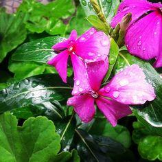Periwinkle Flowers, Pictures, Plants, Photos, Plant, Grimm, Planets
