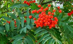 The Rowan Tree was also called the Druid's tree and said to offer protection from witchcraft and evil spirits. - The Outlander Plant Guide Outlander, Mountain Ash Tree, The Longest Journey, Plant Guide, Plant Information, Rose Family, Tree Seeds, Dark Places, Growing Tree