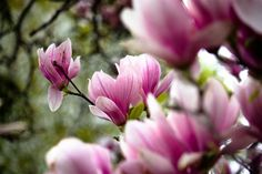 Beautiful beyond all words, the magnolia are in full bloom this morning. Magnolia Trees, Red Berries, Green Leaves, Planting Flowers, Exotic, Floral, Plants, Bing Images, Beautiful