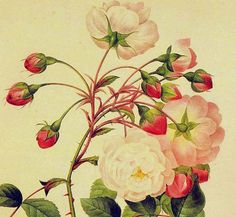 Adelaide+d'+Orleans+Rose+Redoute+Vintage+by+SurrenderDorothy,+$11.89