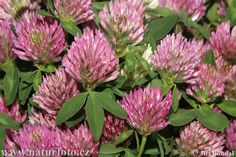 There are now so many uses for Red Clover Seed. Red clover is a wild plant that is used for grazing cattle and other animals. It has also been used medicinally to treat a number of conditions. Healing Herbs, Medicinal Plants, Natural Healing, Herbal Remedies, Health Remedies, Natural Remedies, Natural Medicine, Herbal Medicine, Gardens