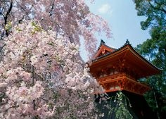 Kannon's tiled temple roof floats far away in clouds of cherry blossoms.   Basho