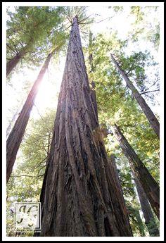 Redwoods, Northern California