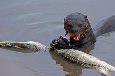 Otter vs. crocodilian