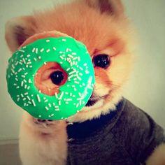 'Boo' - Jiff the Pomeranian Dog Cute Funny Animals, Cute Baby Animals, Animals And Pets, Cute Cats, Funny Pets, Tiny Puppies, Cute Puppies, Jiff Pom, World Cutest Dog