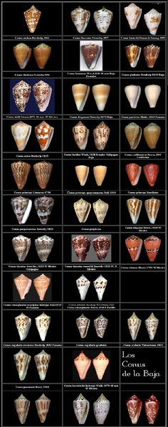 conus of Baja California